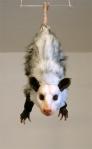 {Virginia Opossum} 2009