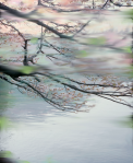 Untitled (Sakura 2), 2009 Pigment print on paper